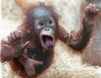 Orangutan teases you
