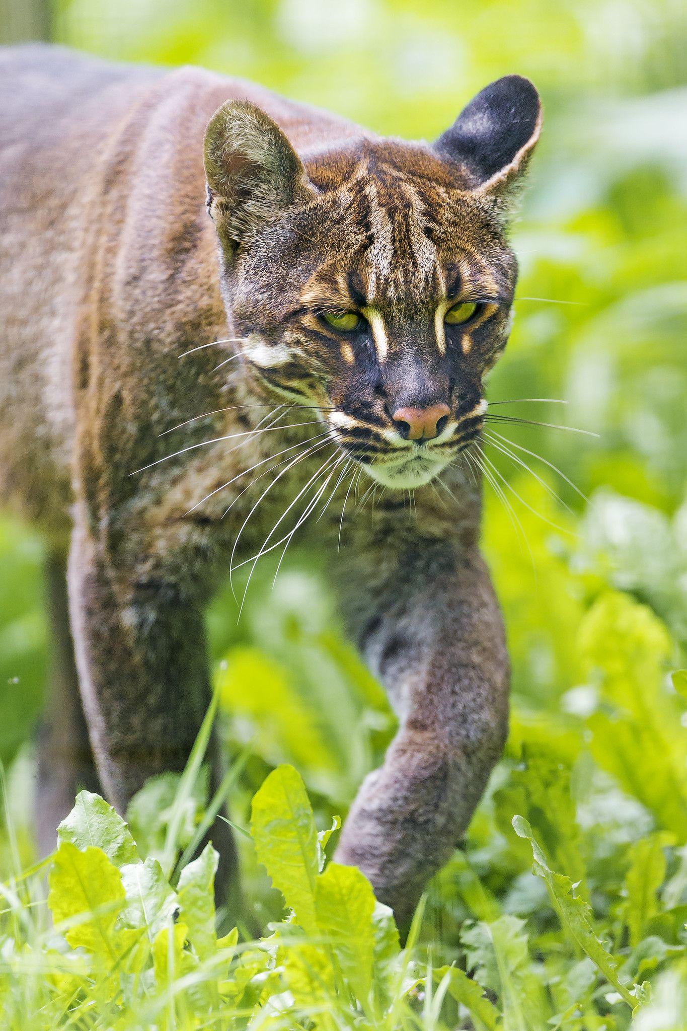 Asian golden cat III (With images) Wild cat species, Cat