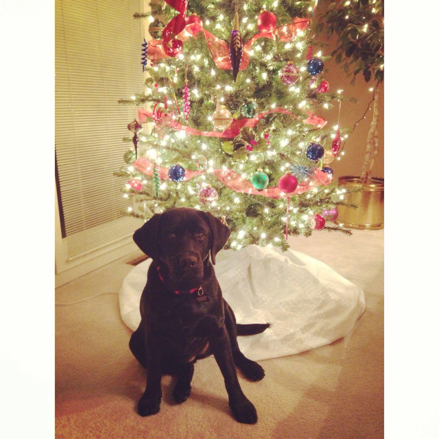 Black Lab Puppy! 6 Months Old.