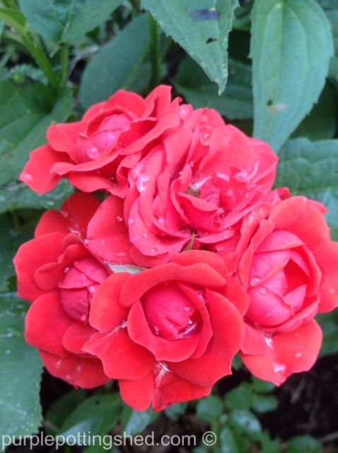 Cluster of red mini roses, www.purplepottingshed.com