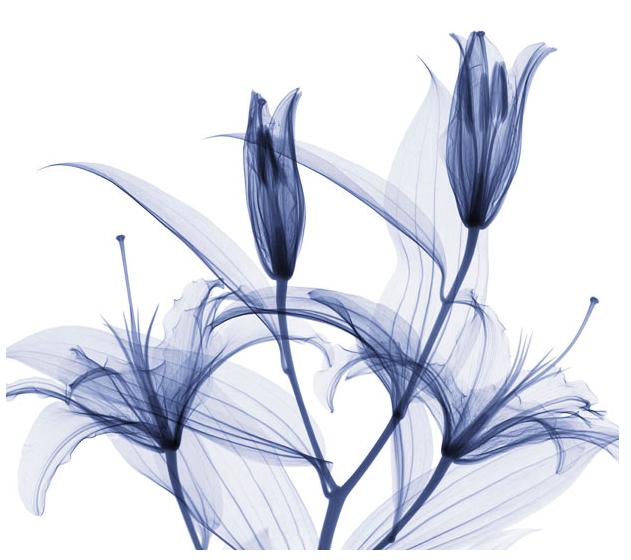 X Rays Of Flowers By Hugh Turvey 11 Xray Art Xray Flower Art