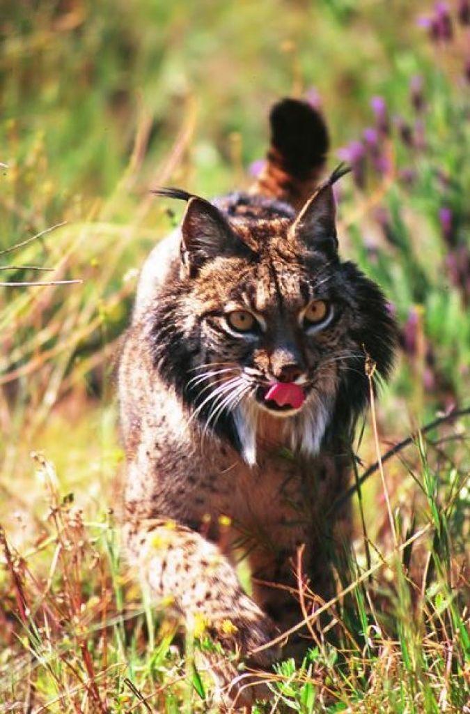 Specimen in the Doñana National Park Iberian lynx, Lynx