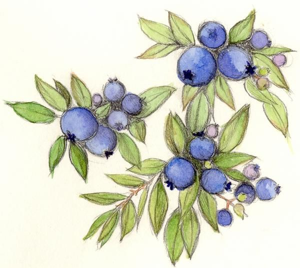 blueberries drawing | Blueberry, Drawing by Cindy Robbins ...