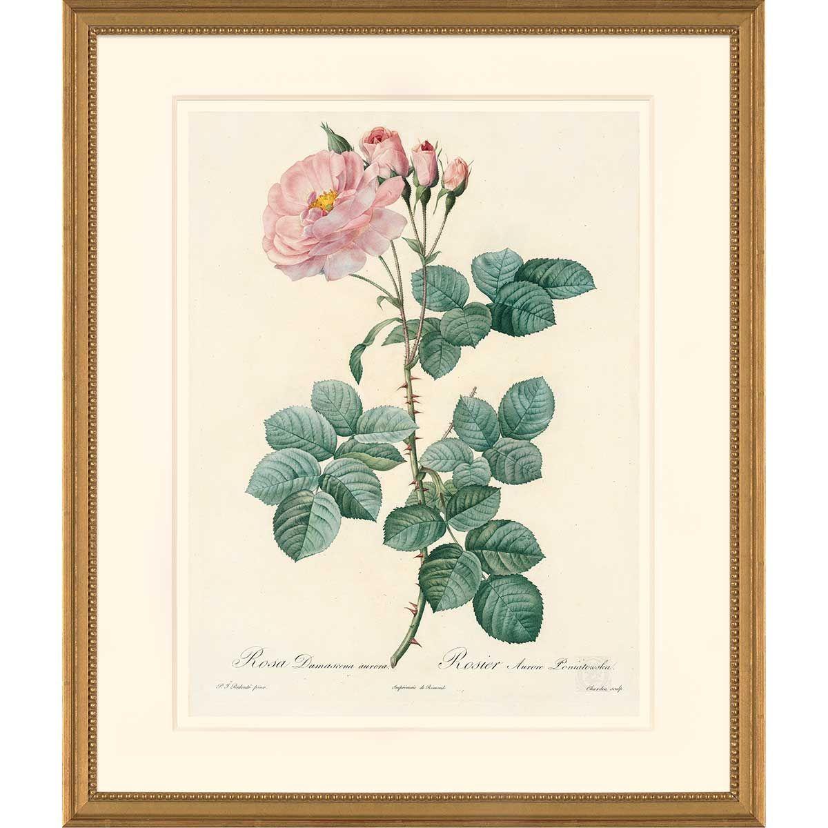 Redoute Oppenheimer Editions Les Roses Pl 75 White Rose Celestial 225 350 Pierre Joseph Redoute Les Roses Antique Botanical Print Botanical Prints Prints