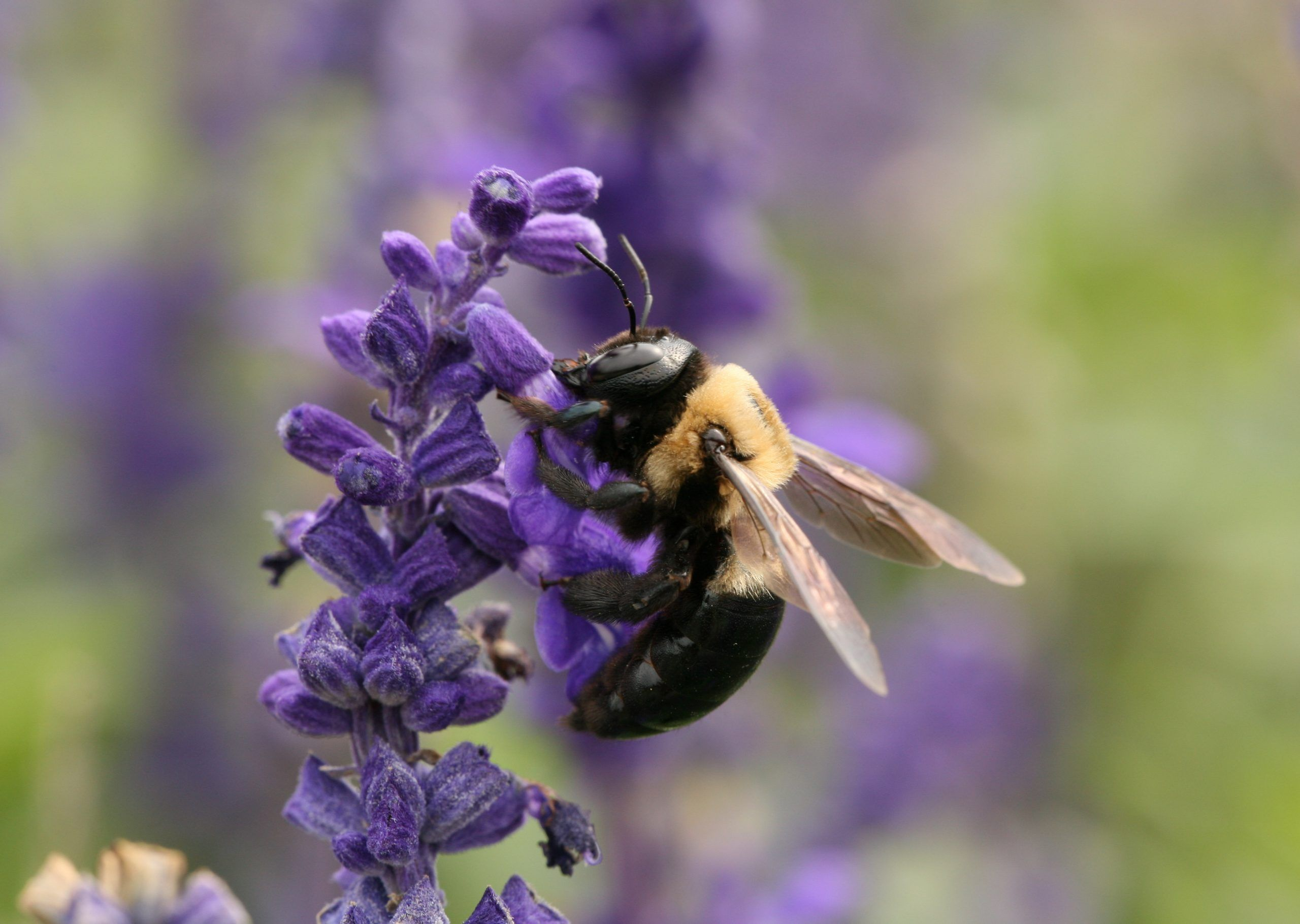 Carpenter bees carpenter bee pollinator plants bee