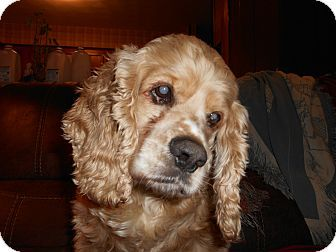 Kannapolis Nc Cocker Spaniel Meet Flint Cooper Donations Needed A Dog For Adoption Https Pagez Com 3532 33 Facts About Dogs