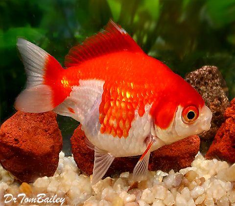 Short Tail Red And White Ryukin 150618a3 W0480 Jpg 480 420 Goldfish For Sale Ryukin Goldfish Goldfish