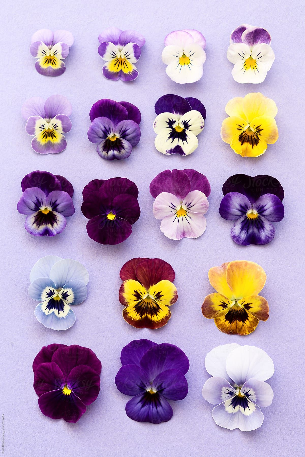 Pansy Flower Heads Ordered By Size By Ruth Black For Stocksy United Pansies Flowers Pansies Flower Painting