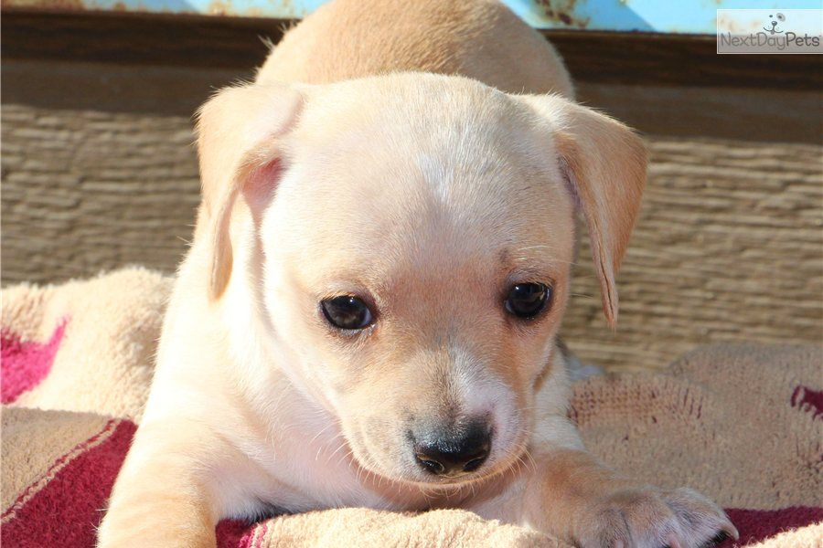 Chihuahua puppy for sale chiweenie puppies boys girls