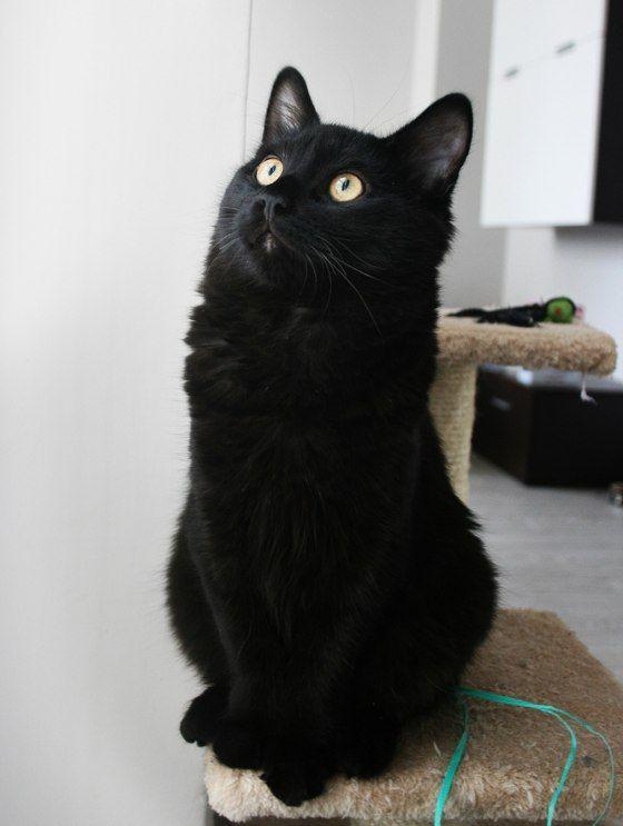 cute black fuzzy kitten furball ALL GROWN UP | I Love ...