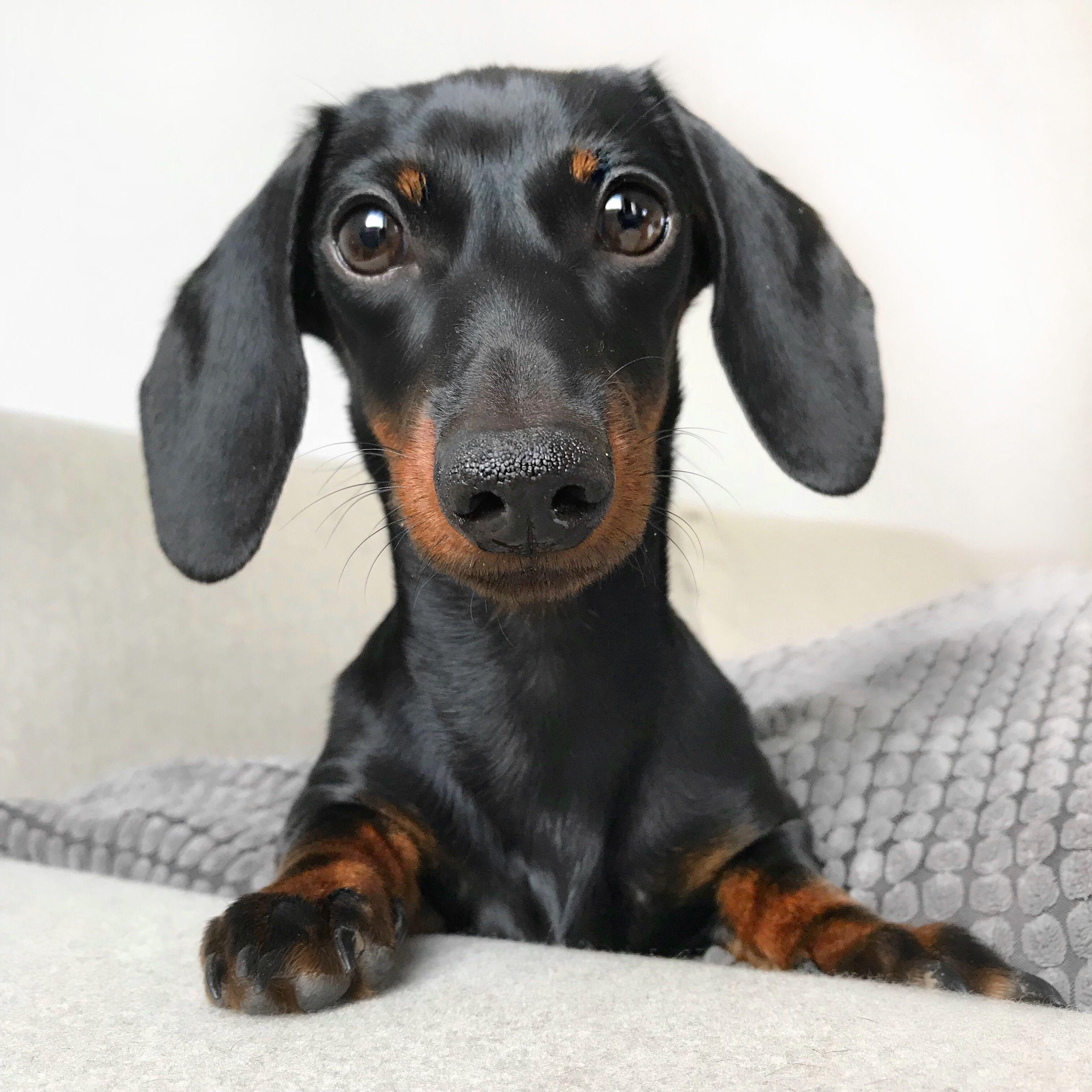 Dachshund Crazy Dog Lady Doxie Puppies Sausage Dog Puppy