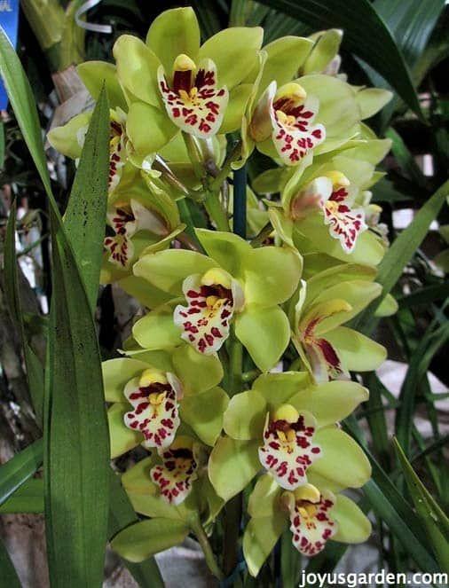 Cymbidium Orchid Care Cymbidium Orchids Care Cymbidium Orchids Growing Orchids