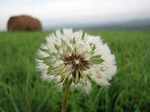 Gambar Bunga Dandelion Di Hamparan Padang Rumput Kumpulan Gambar