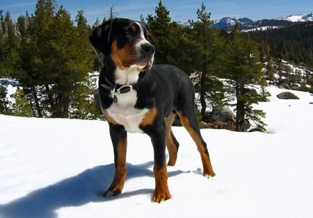 Swissy Swiss Mountain Dogs Greater Swiss Mountain Dog Great
