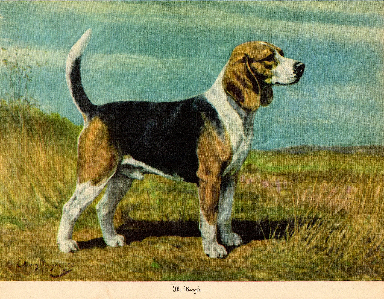 1942 Antique Beagle Dog Print Vintage Megargee Pet Art Print
