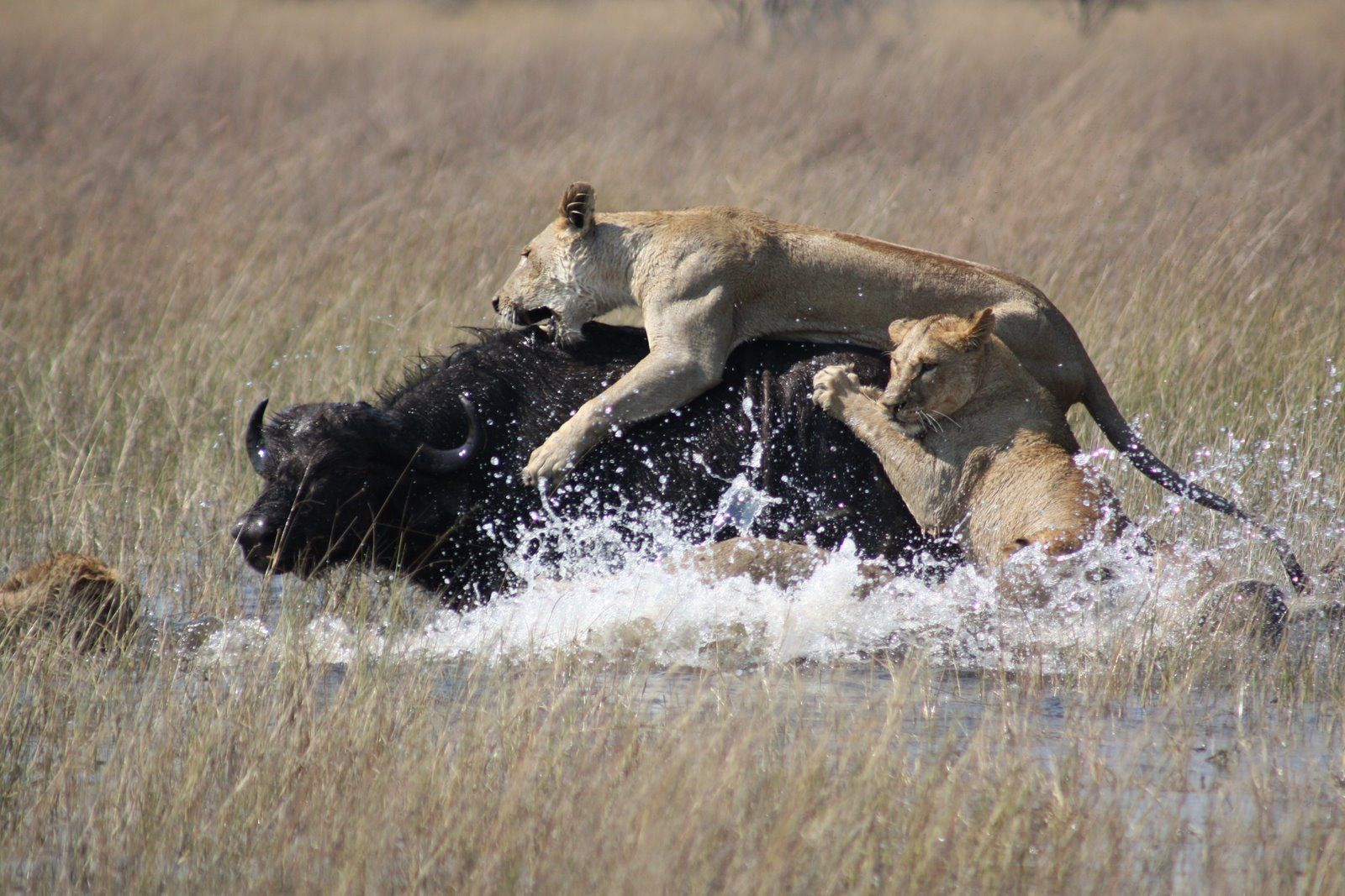 This is a example of prey predator where the lion is hunting a buffalo