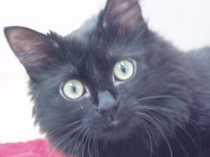 Adopt Pretty On Petfinder Cute Black Cats Cats Black Cat
