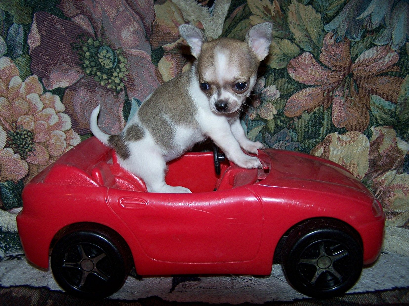 I Have Upgraded The Bus To A Corvette Cute Chihuahua