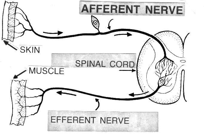 Afferent Vs Efferent Nerves Nursing School X Pinterest