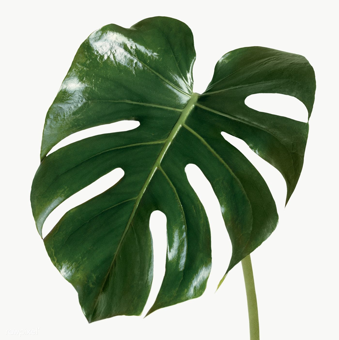 Split Leaf Philodendron Monstera Plant Element Transparent Png Free Image By Rawpixel Com Jira
