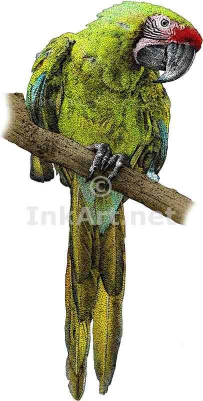 Full color illustration of a Military Macaw (Ara militaris)