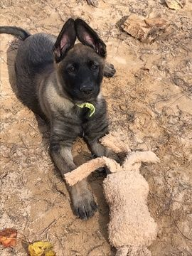 Litter Of 5 Malinois Puppies For Sale In Greenwood Sc Adn 52489