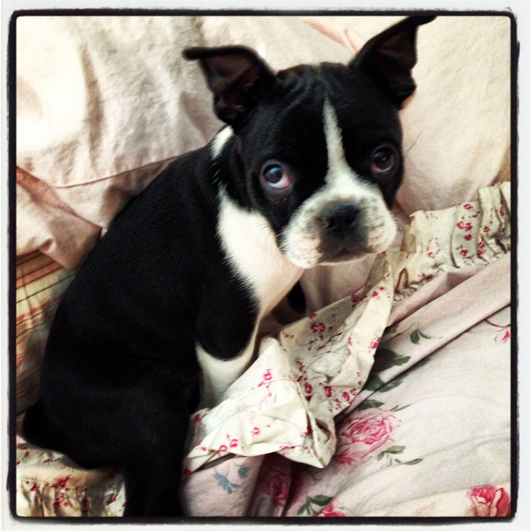 Gracie mae my boston terrier puppy boston terrier