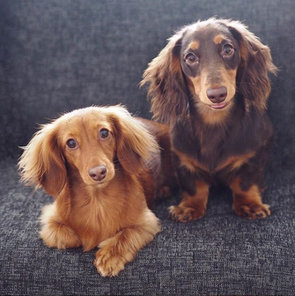 Hi We Re Miniature Longhaired Dachshunds Named Ruby And Doug Check Out Our Adventures On Insta Doug And Ruby Doxie Puppies Mini Dachshund Dachshund