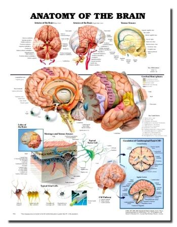 Anatomy Of The Brain Anatomical Chart   Friendly Divorce   Pinterest ...