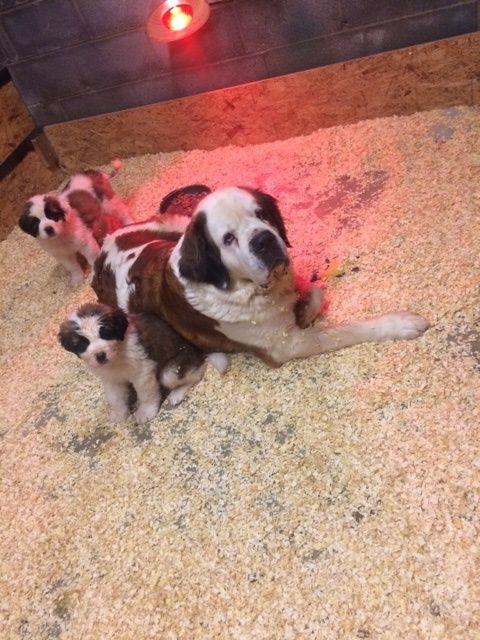 Saint Bernard puppy for sale in PITTSBURGH, PA  ADN-55295 on