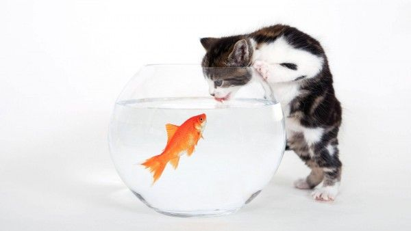 Tastes Fishy Hd Wallpapers High Definition 100 High Quality Hd Desktop Wallpapers For Widescreen Fullscreen Ba Baby Cats Cute Animals Cats And Kittens