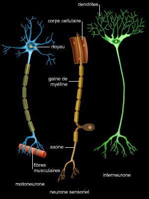 Les neurones assurent la transmission d 39 un signal for Influx nerveux