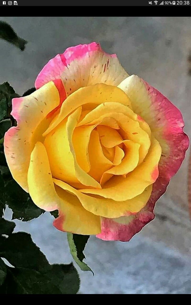 Very Beautiful Petalon Pinterest Flowers Rose And