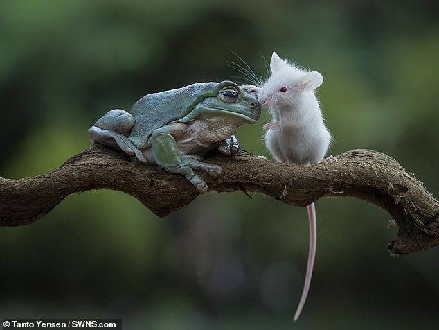The little white mouse pats the frog's head after being passed over as food, a reward for ...
