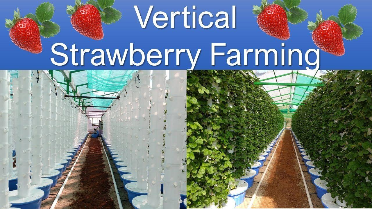 Vertical Strawberry Farming (वर्टीकल स्ट्रॉबेरी फार्मिंग