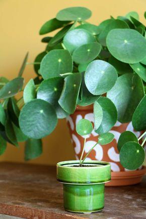 pilea peperomioides pannenkoekenplant botany. Black Bedroom Furniture Sets. Home Design Ideas