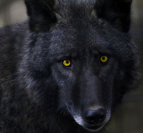 black wolf with yellow eyes - photo #4