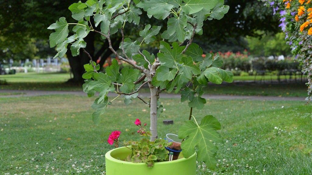 In Einem Grunen Topf Ist Ein Junger Feigenbaum Gepflanzt Bildrechte Mdr Daniela Dufft In 2020 Feigenbaum Pflanzen Pflanzen Feigenbaum