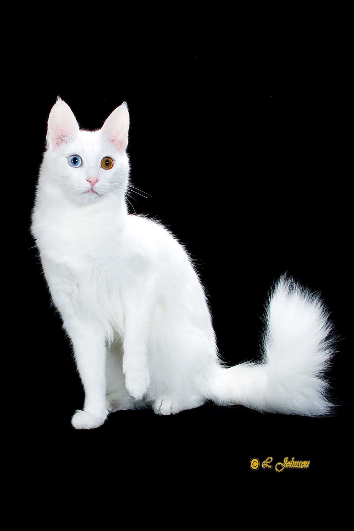 Turkish Angora This Reminds Me Of My Cat Crystal Only Her Eyes Were A Lighter Blue And Gold She Was Also Deaf Turkish Angora Cat Cat Breeds White Cat Breeds