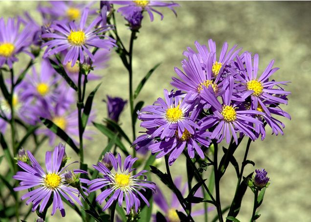 New England Aster King Of The Autumn Garden Tall And Majestic Its Deep Blue Purple And Sometimes Pink Flowers Bee Garden Autumn Garden Garden Accessories