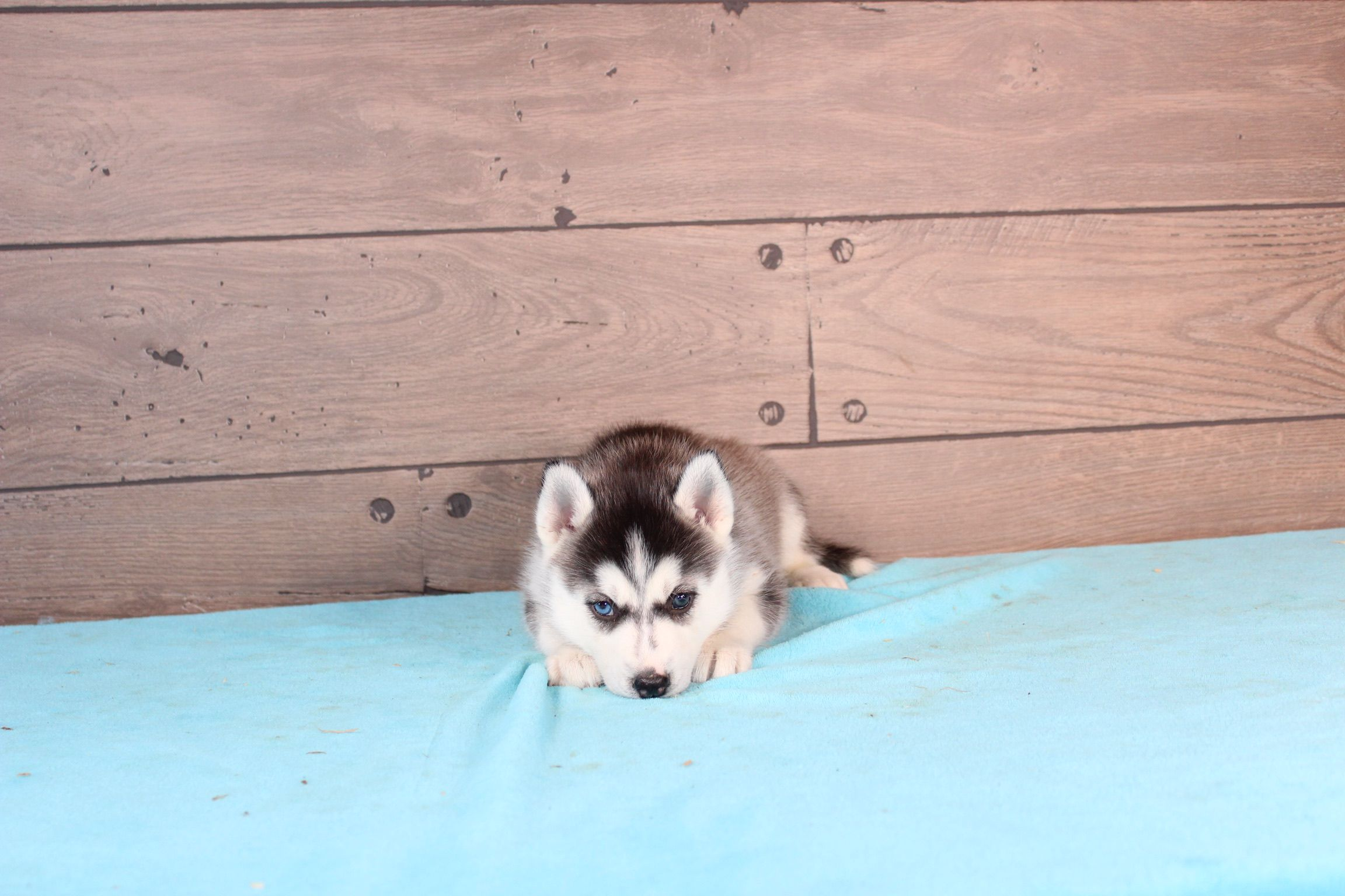 Lena Akc Siberian Husky Puppy For Sale In Nappanee Indiana