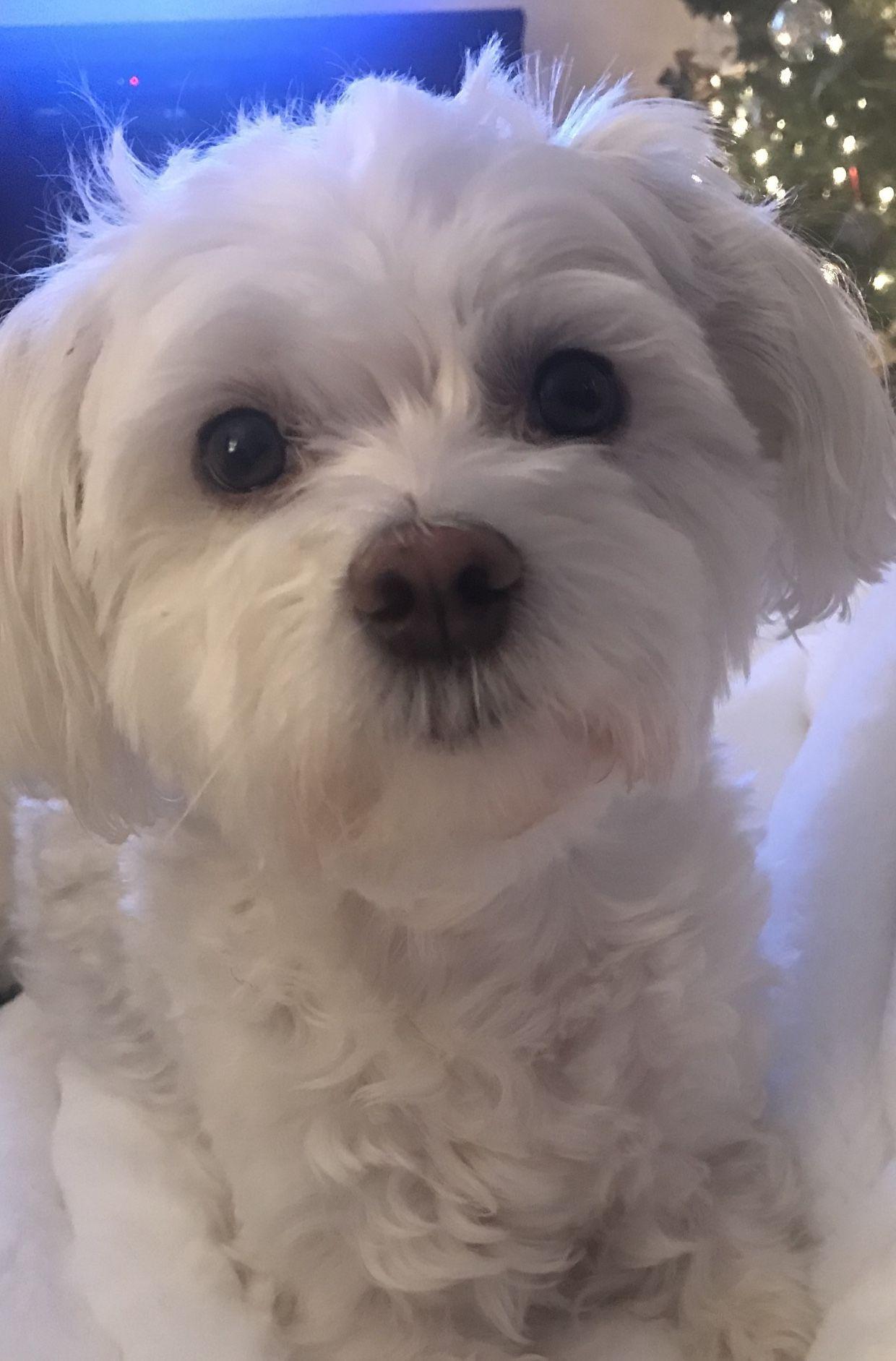 Bentley Sweetest Boy Ever Maltese Puppylove Bentley Puppy