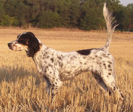 English Setter Dogs For Sale Outback Kennels With Images