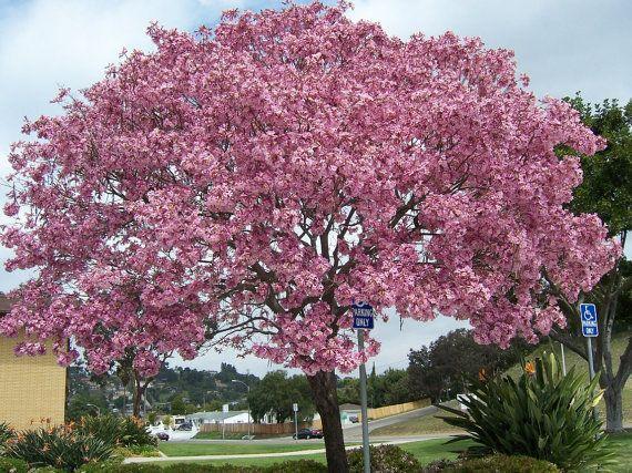25 Seeds Tabebuia Impetiginosa Pink Trumpet Tree Seeds Bi Tki Bahcecilik Cicek