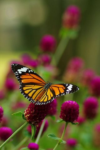 Monarch Butterfly 2 Android Wallpapers Hd Butterflies