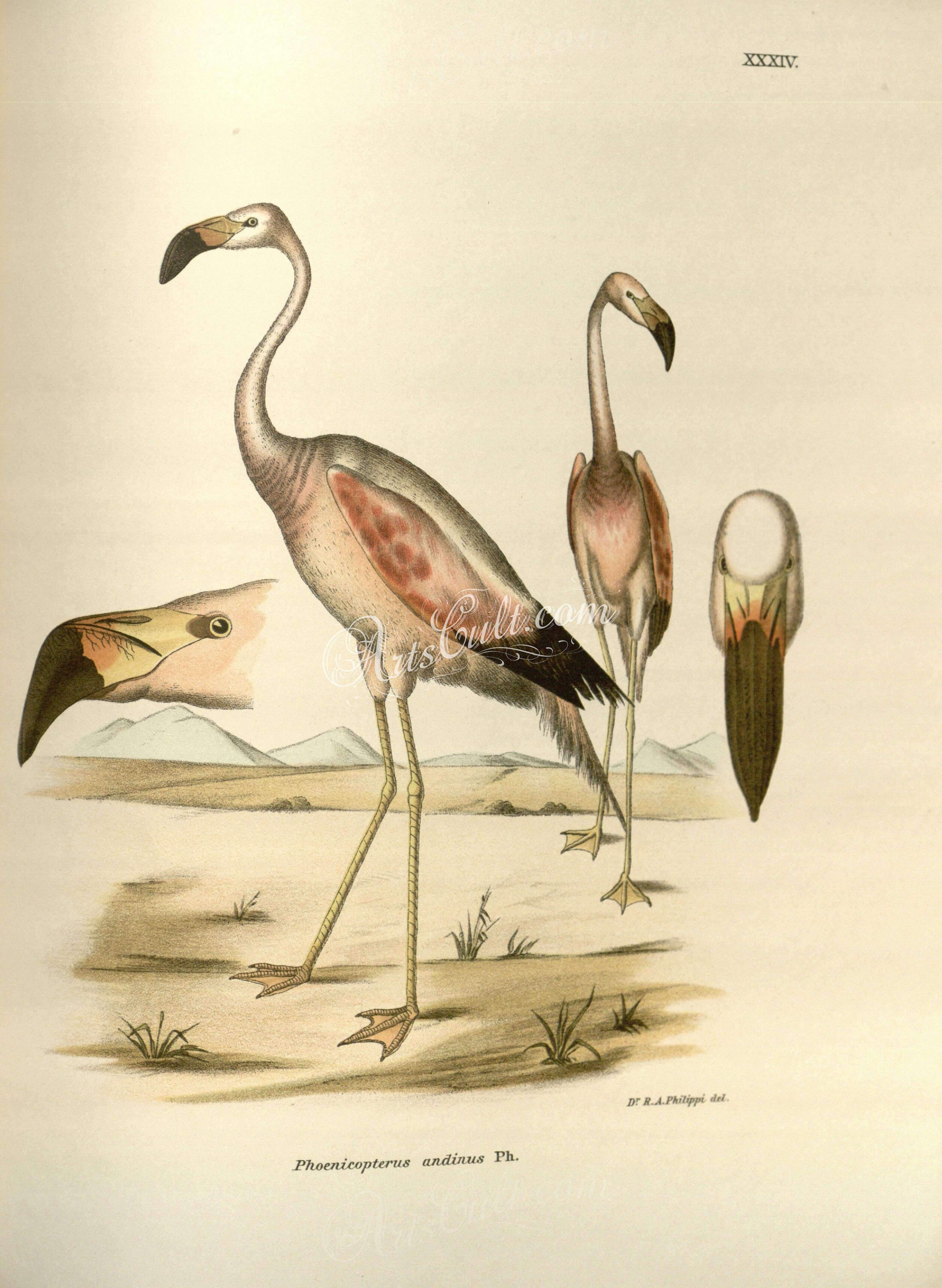 andean flamingo 2 high resolution image from old bookthis jpeg image is a high resolution printable scan of an old page or plate or engraving - Printable Bird Pictures 2