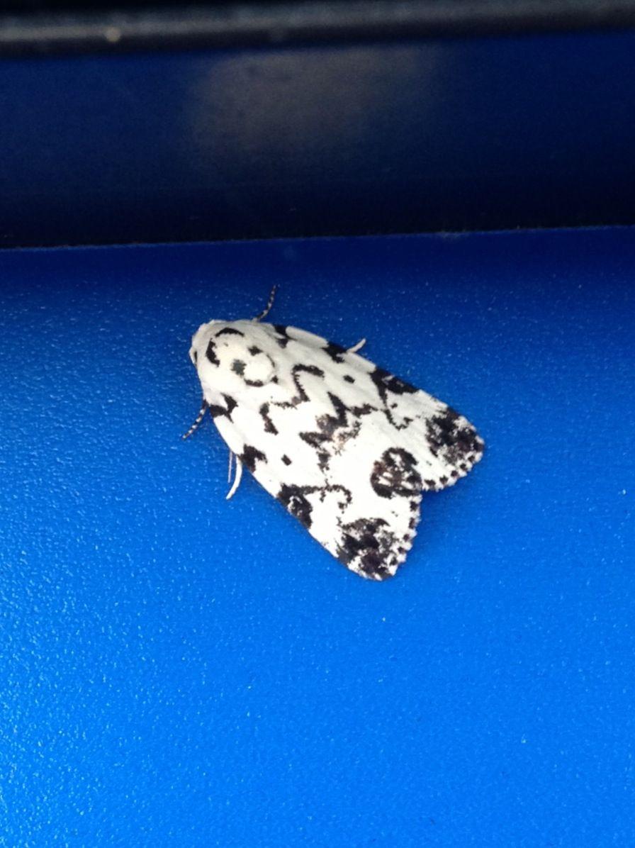 Pretty little black n white moth. Beautiful markings