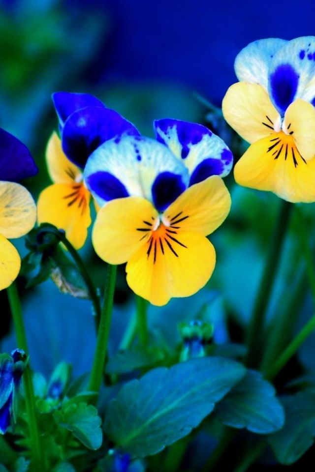 640x960 Spring Flowers Iphone 4 Wallpaper Pansies Flowers Flower Wallpaper Spring Flowers Wallpaper