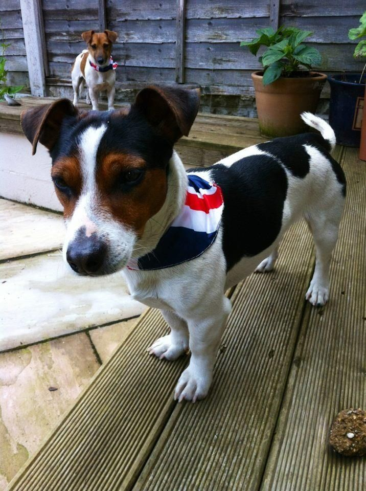 Union Jack love!!! Jack Russell