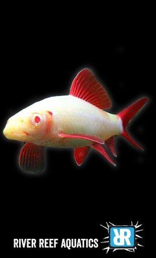 Albino Rainbow Shark Epalzeorhynchos Frenatus